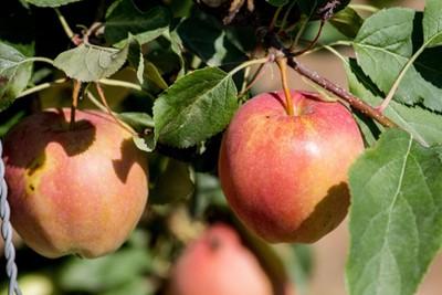 Produkcja jabłek będzie rosła; za kilka lat możliwa nadpodaż o 3,0 mln t - TRSK