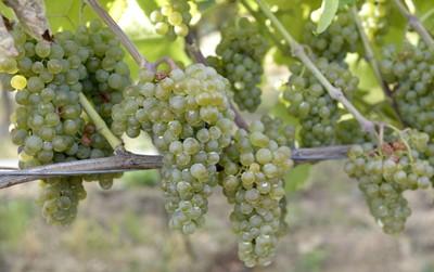 Blisko 60 proc. podkarpackich winnic przyjmuje turystów