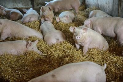 Świat. Organizacja ds. Zdrowia Zwierząt: Polska wolna od klasycznego pomoru świń