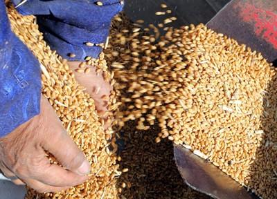 Egipt kupuje rocznie 11 mln ton pszenicy