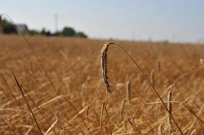 IUNG: susza w 6 województwach, niedobór wody dotyka głównie zboża jare