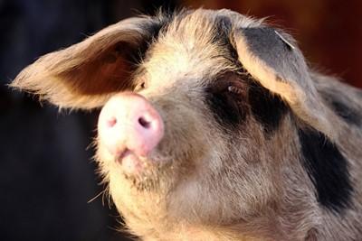 Producenci świń dostaną unijne wsparcie do 20 czerwca