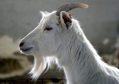 Zanikające rasy zwierząt w sanockim skansenie