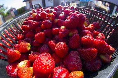 Świętokrzyskie: w gminie Bieliny – pełnia sezonu truskawkowego