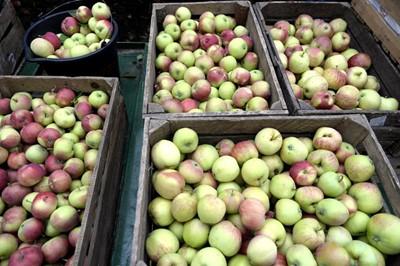 TRSK: lepsze zbiory jabłek, gorsze truskawek, porzeczki, wiśni i śliwek