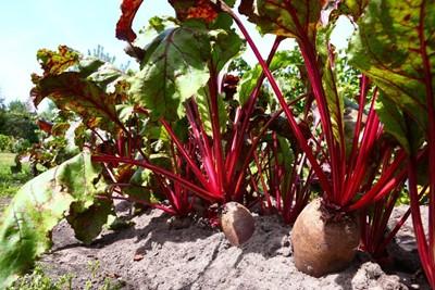 Plantatorzy buraków chcą szybkiej prywatyzacji Krajowej Spółki Cukrowej