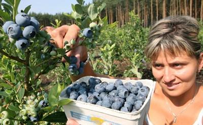 Polacy będą uprawiać borówkę amerykańską... w Chorwacji