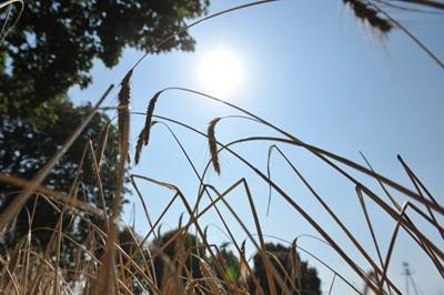 W czasie suszy trawy reformują korzenie