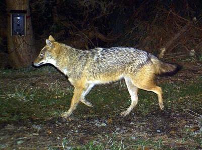 Szakal złocisty dziesiątkuje zwierzęta dzikie i hodowlane na Węgrzech