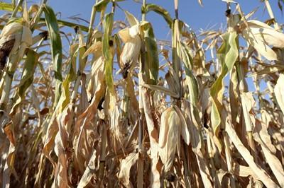 Pomoc dla rolników, którzy stracili uprawy – po zbilansowaniu wszystkich szkód