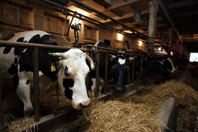 Krów ubywa, a mleka coraz więcej