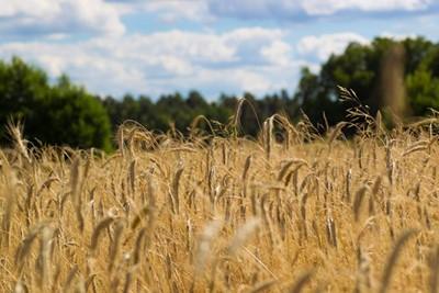 GUS szacuje: tegoroczne zbiory zbóż wyniosą 26,1 mln ton
