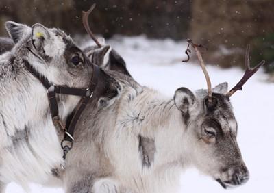 Rośnie liczba osób zakażonych wąglikiem na północy Syberii