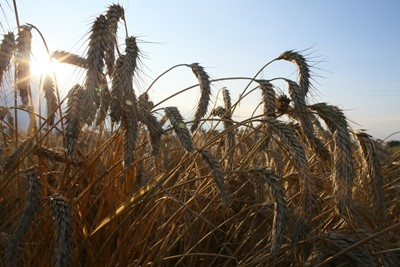 KFPZ: pogarsza się jakość ziarna zbóż