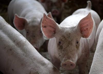Producenci trzody: zlikwidować chlewnie, które nie przestrzegają bioasekuracji