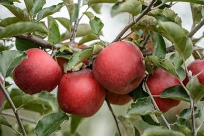 Jabłek będzie coraz więcej, więc opłacalność ich produkcji spadnie