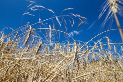 IUNG: susza rolnicza nadal nie występuje; opady opóźniają zbiory zbóż