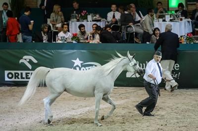 PO i PSL krytykują sposób przeprowadzenia aukcji koni w Janowie