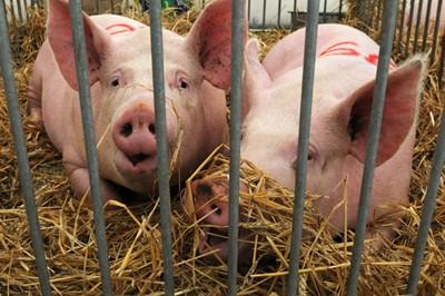 Podlaskie: wykryto 18. w kraju ognisko ASF u świń