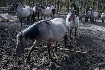 Konik polski - rasa wywodząca się od dzikich tarpanów