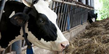 Biegunki u bydła – zapobieganie i leczenie