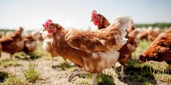 Żywienie kur nieśnych w hodowli przydomowej
