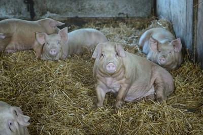Resort rolnictwa: Polska będzie wnioskować o dopłaty do eksportu wieprzowiny
