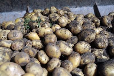 Ziemniaki w odwrocie