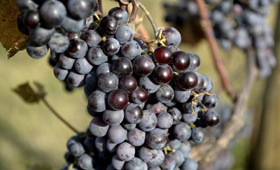 Polskie wina gronowe stają się modne