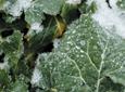 Co wpływa na zimowanie rzepaku?