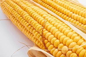 Wybór najlepszej odmiany kukurydzy cz. I