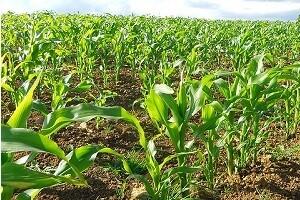Przeciwdziałanie niekorzystnym czynnikom w uprawie kukurydzy
