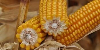 Wybór najlepszej odmiany kukurydzy cz. II