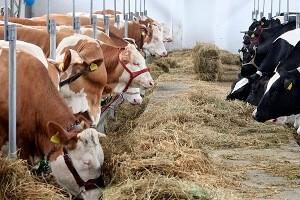 Ketoza – problem współczesnego hodowcy
