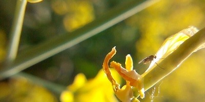 Ochrona rzepaku w okresie kwitnienia to konieczność
