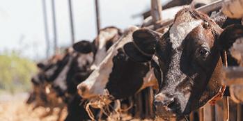 Kwasica – przyczyna spadku wydajności stada