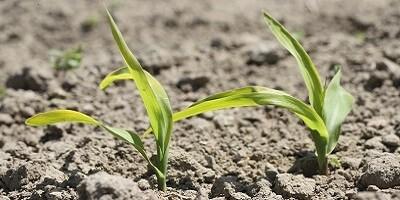 Skuteczny zabieg herbicydowy w kukurydzy