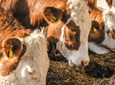 Ekonomiczny opas bydła