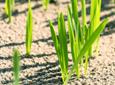 Chwasty dwuliścienne – wróg zbóż ozimych