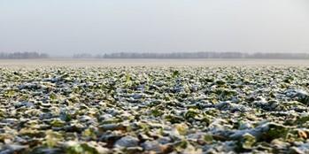 Jak wiosną zadbać o plantację rzepaku ozimego?