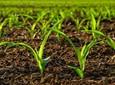Strategia odchwaszczania kukurydzy
