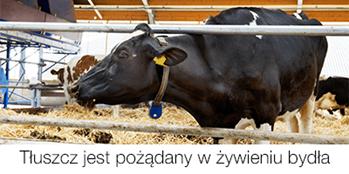 Tłuszcz jest pożądany w żywieniu bydła