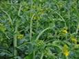 Jak wspierać regenerację roślin polowych po wiosennych przymrozkach?
