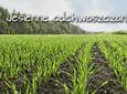 Skuteczne odchwaszczanie zbóż ozimych jesienią