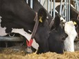 Tłuszcz chroniony w żywieniu bydła mlecznego - dlaczego warto?
