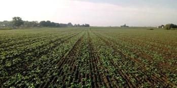 Co dzieje się na plantacjach rzepaku w Polsce?