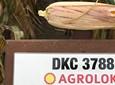 Jak zmniejszyć koszt dosuszenia i zbioru ziarna kukurydzy?