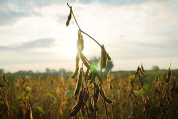 Soja – technologia uprawy w Polsce