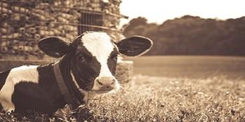 Rozród krów mlecznych - jak uzupełnić niedobory energetyczne w dawce pokarmowej?