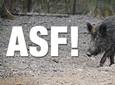 Afrykański pomór świń – czym jest i jak chronić stado przed ASF?